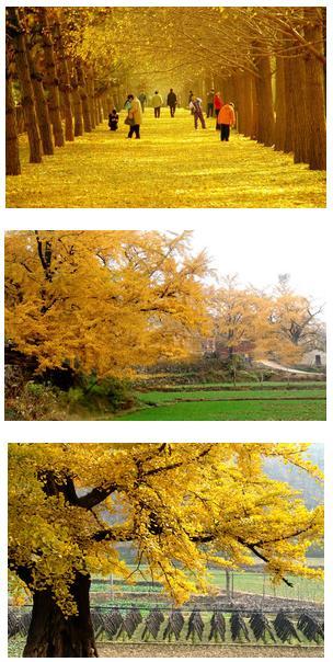 随州イチョウ谷 見渡す限りの黄金色